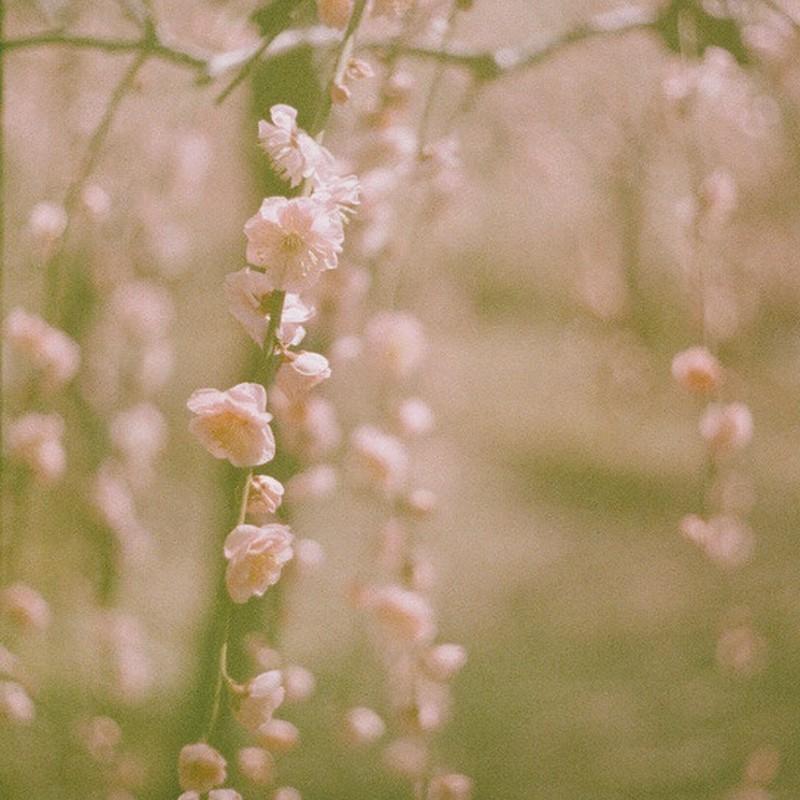 枝垂れ梅。