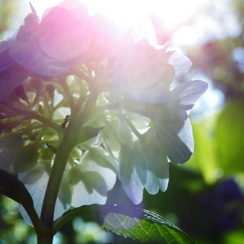 晴れのち紫陽花。