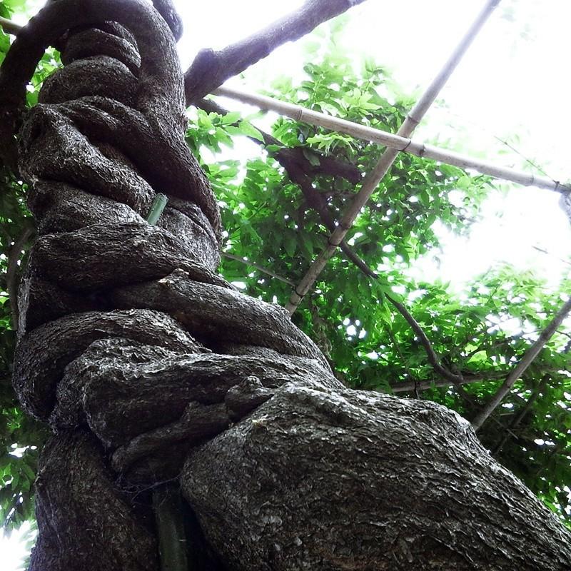 ネジネジの木。