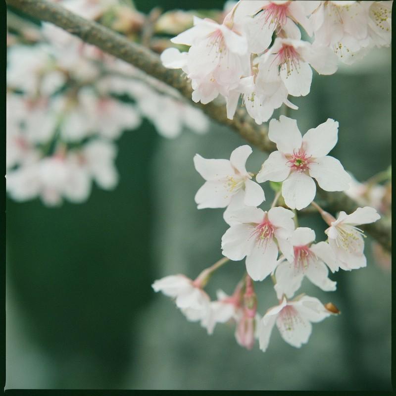 サクラ、咲いた