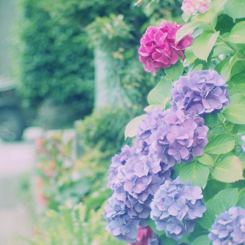 赤い紫陽花