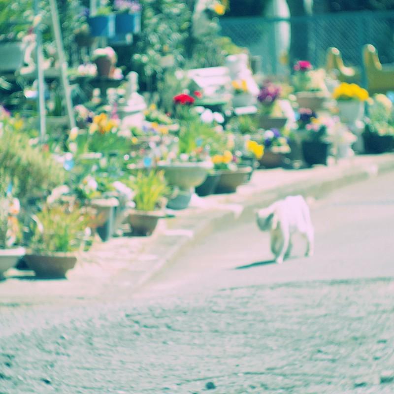 白猫、てくてくと