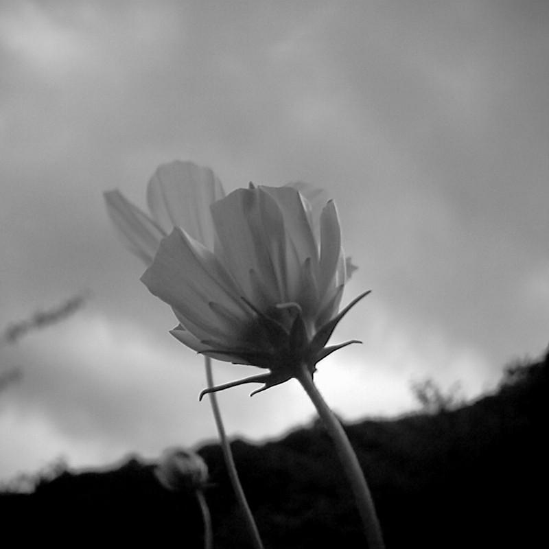 曇り空に咲く