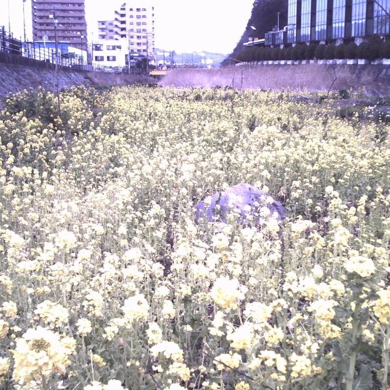 川の中の菜の花畑
