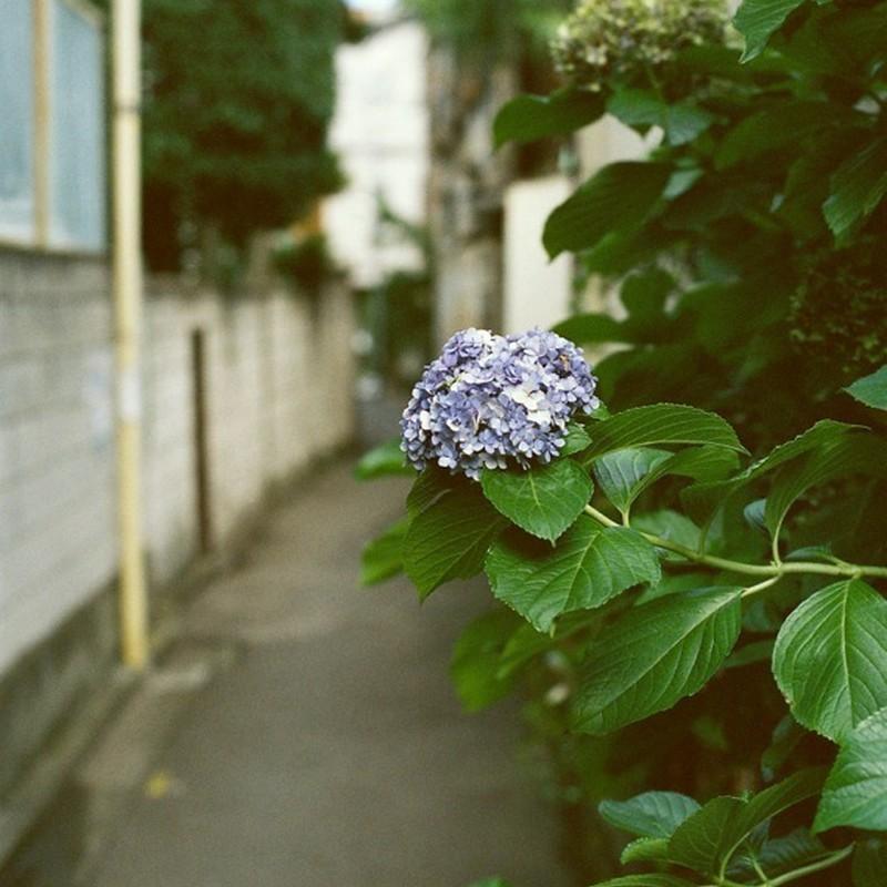 晩夏の紫陽花