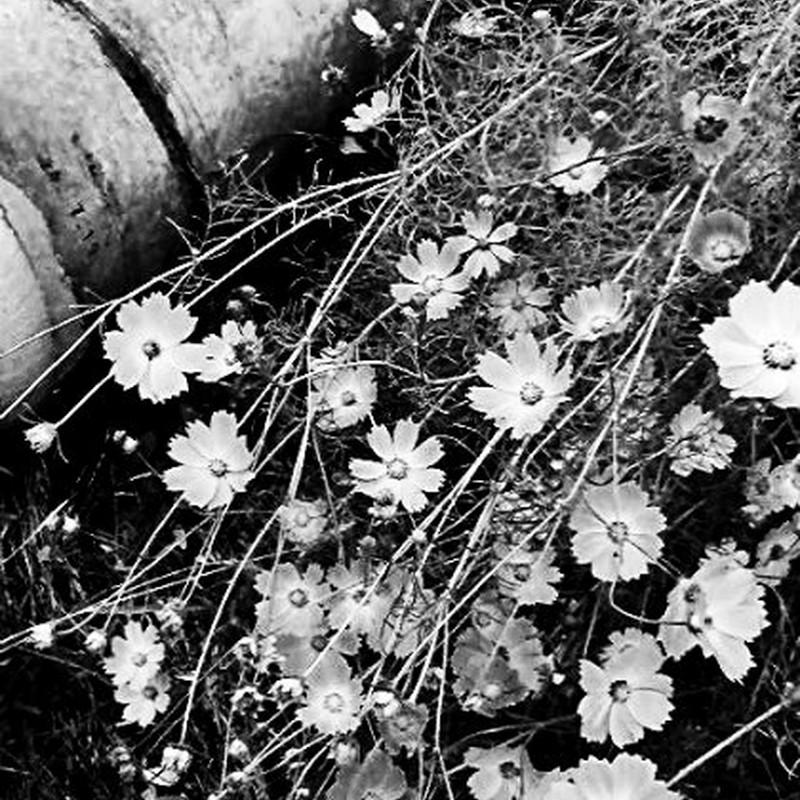 sentimental flower