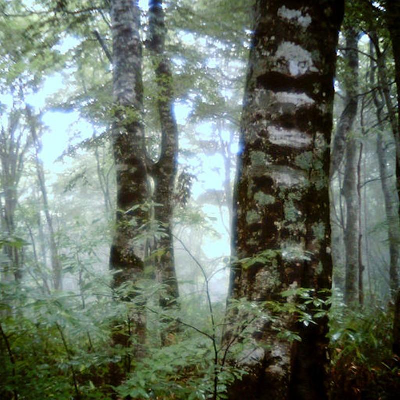 霧のぶな林