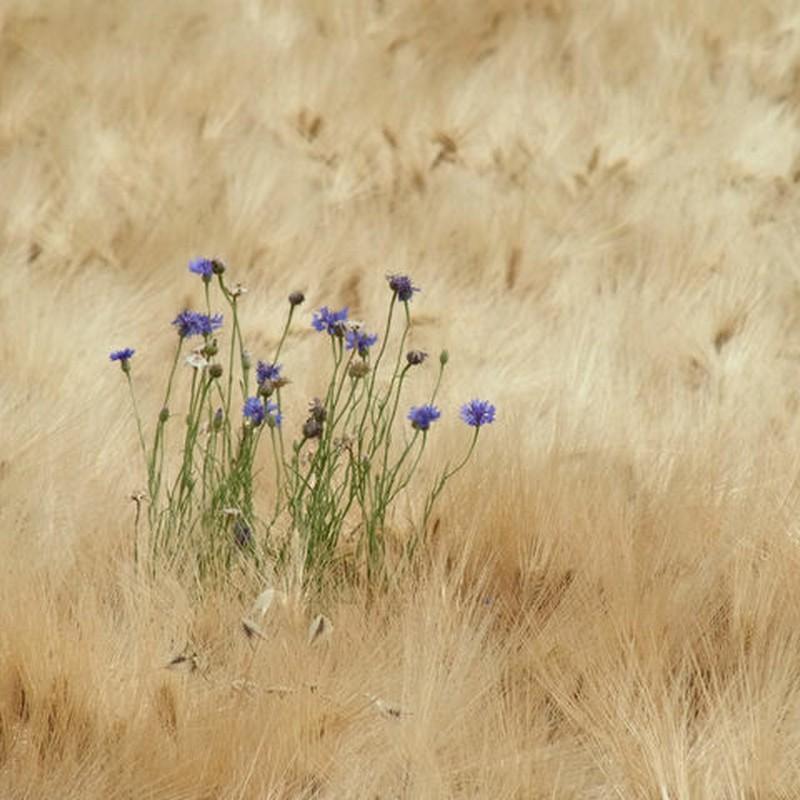 麦畑の中のヤグルマソウ