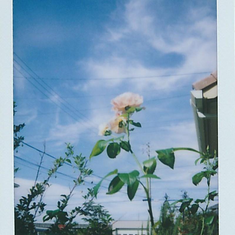 夏の朝に咲いたバラ