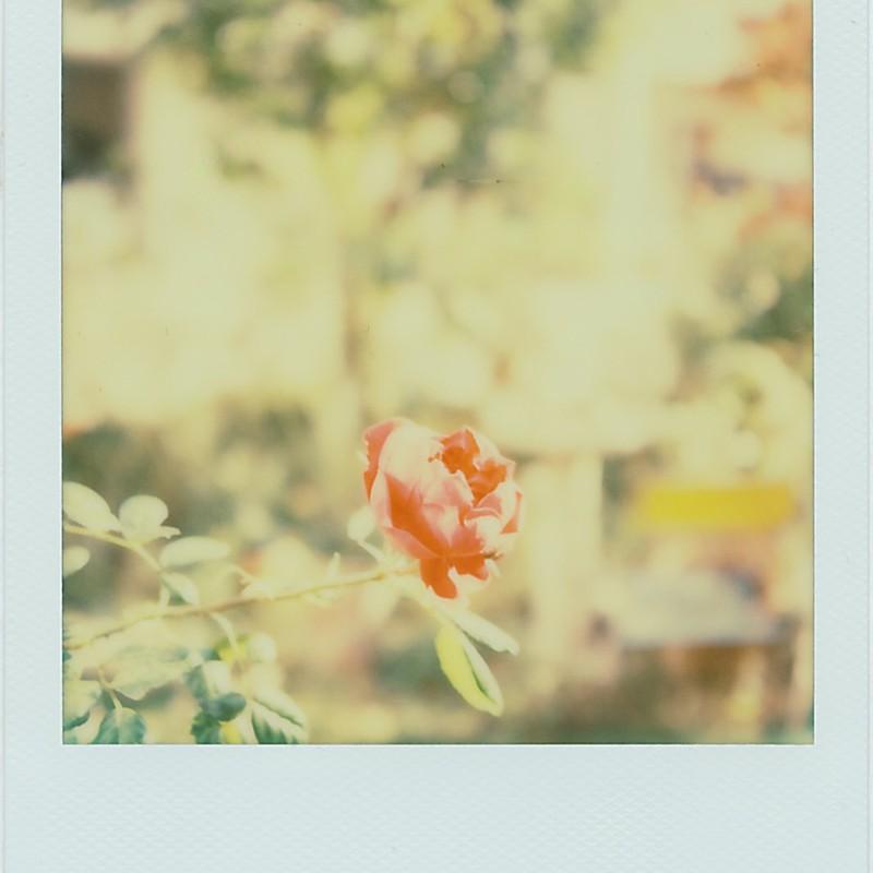 今年最後に咲いたバラ