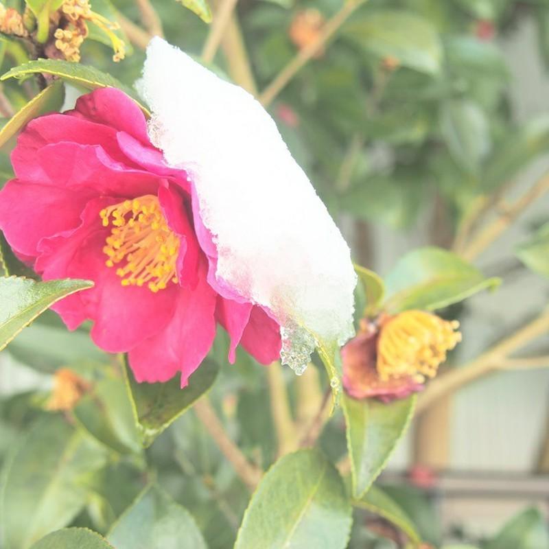 雪の帽子を被る花