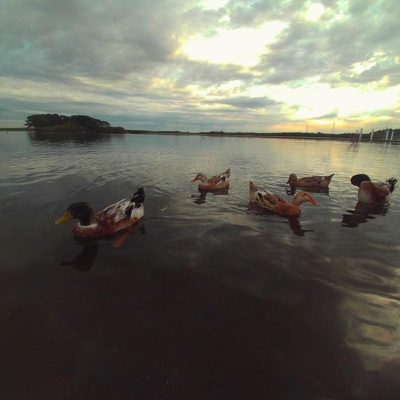 早朝の水辺散歩で出会った、鴨ちゃん達