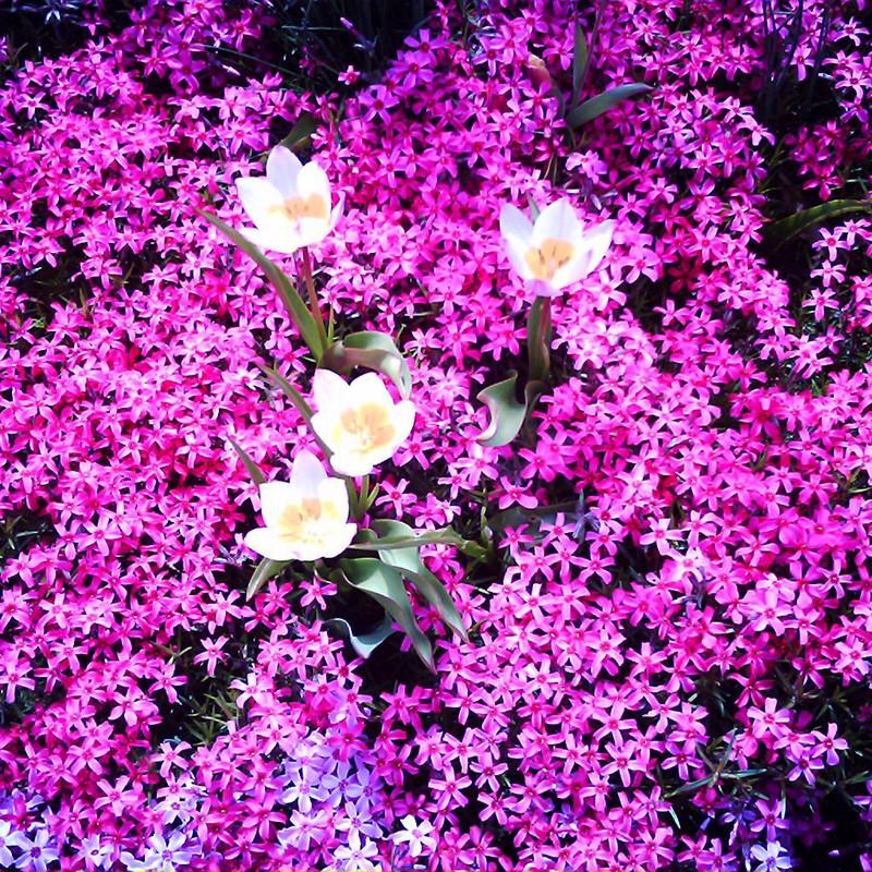 芝桜とチューリップ