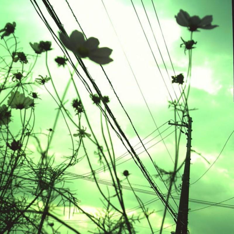 電線とコスモス