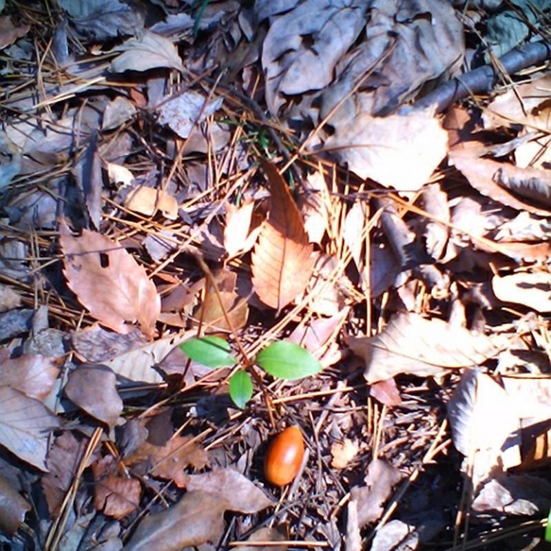 若芽とドングリ。