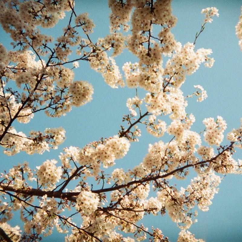 東京の空に桜咲く