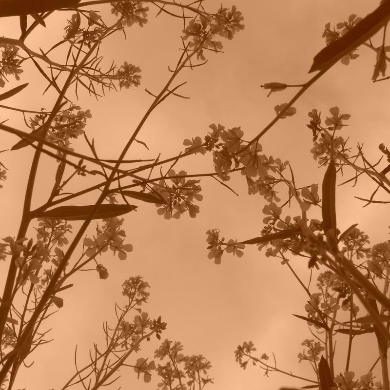 菜の花は大空を目指す