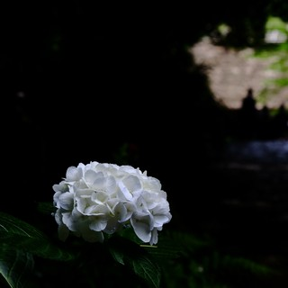紫陽花の咲く頃