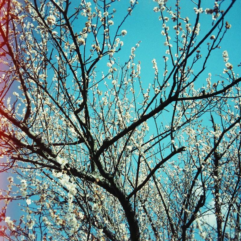 梅?桃?桜ではない