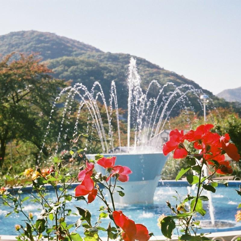 秋の薔薇と噴水