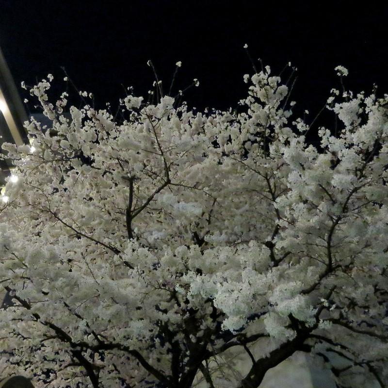 夜桜(華麗なる失敗)