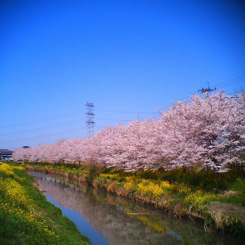 マチナカ桜