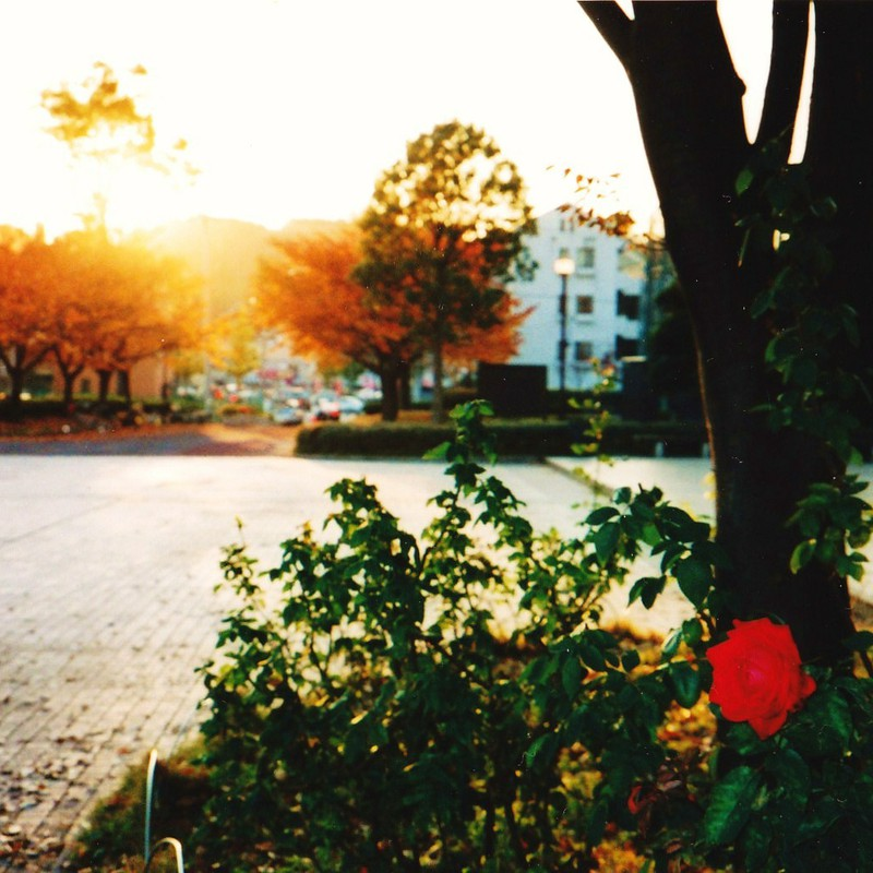 秋の薔薇。