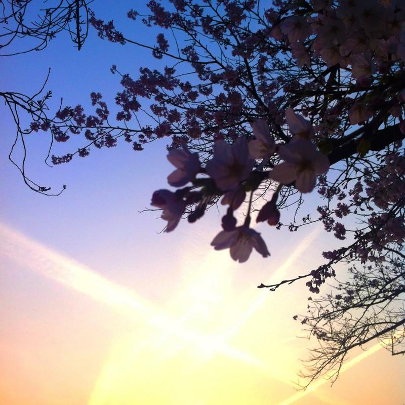 桜夕暮れコントラスト2