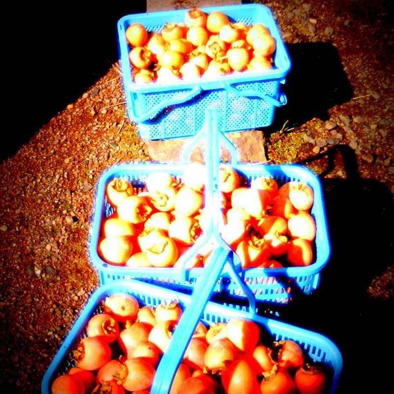 柿と収穫かご