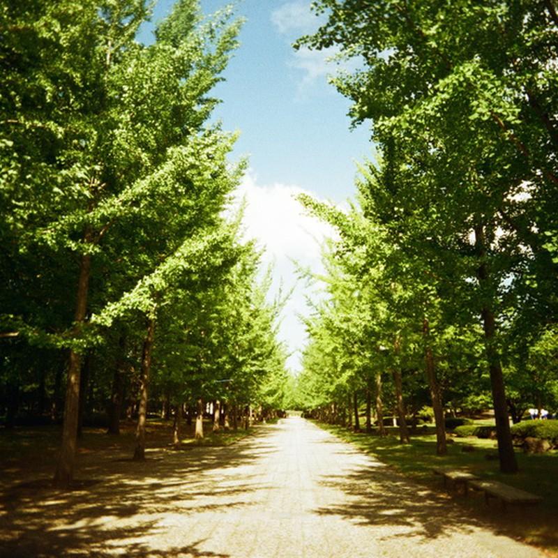 夏のいちょう並木
