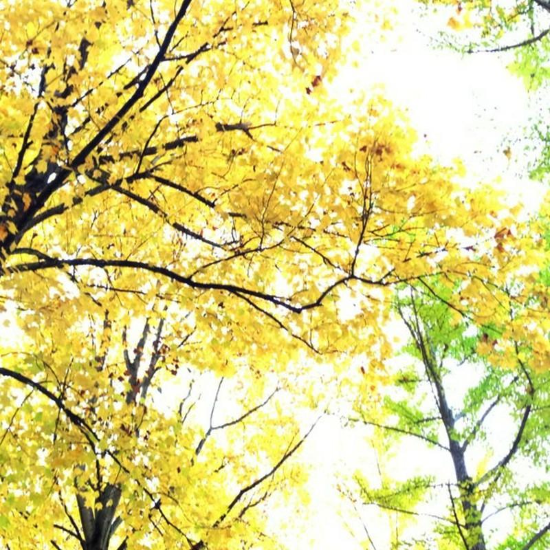 並木を見上げる