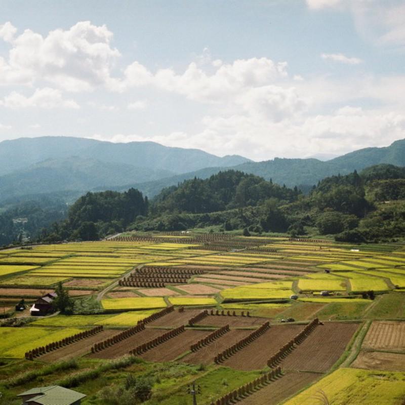収穫の棚田