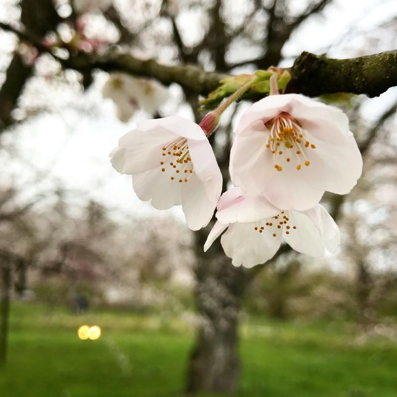 しちぶ咲き