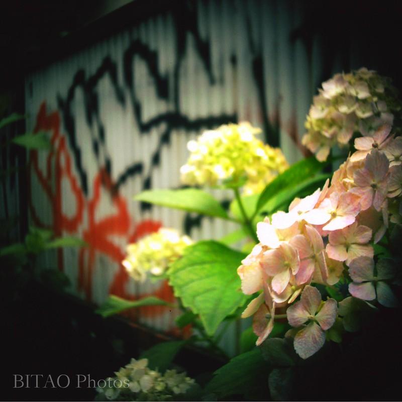 旬の花、原宿の裏道にて